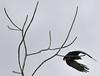 Black-collared Hawk, Rio Tapiche, The Amazon, Peru