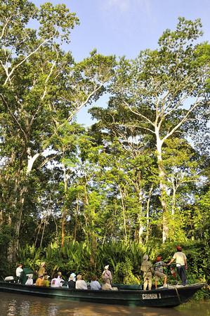 Mulberry tree, Qda. Carocurahuayte, Rio Ucayalli, Peru