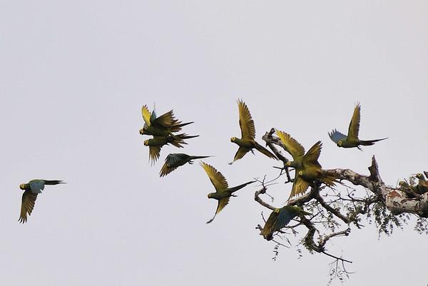 Red-bellied Macaws (Ara manilata), Rio Pacaya, Peru