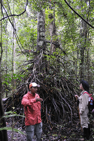 George & Charlotte - tree showing root system adapted with saprophytic fungi that obtain nurtrients from the forest floor before they're washed away., Qda. Sapote, Rio Ucayalli, Peru