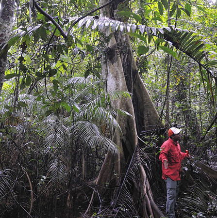 Stangler fig and dead host tree (a palm, favorite of the Strangler), Qda. Sapote, Rio Ucayalli, Peru