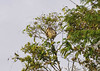3-toed sloth,), Yanallpa, Rio Ucayalli, Peru
