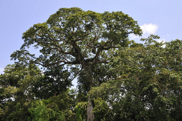 Kapok tree, Rio Pacaya, Peru