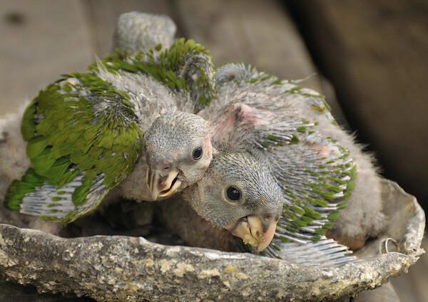 Ribereño family, blue-headed parrots kept as pets, Rio Tapiche, The Amazon, Peru