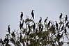 Cormorant roost, Yana Yaku (Black Water) Lake, Rio Pacaya, Peru