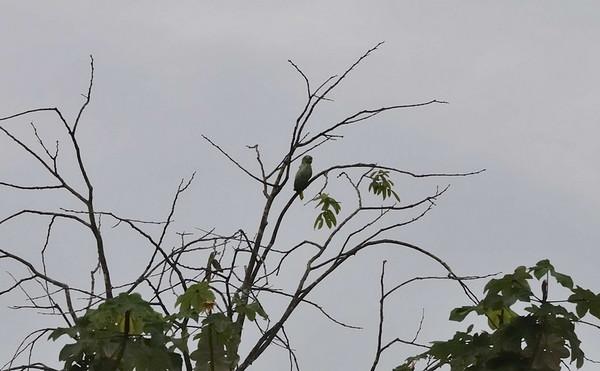 Parrot, Qda. Sapote, Rio Ucayalli, Peru