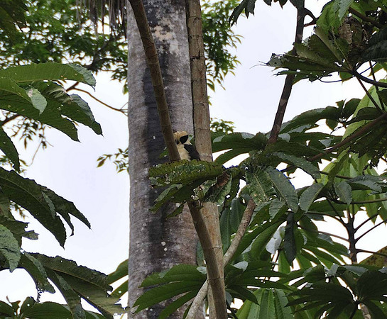 Laughing falcon (Herpetotheres cachinnans):  Mangua on the Amazon in Peru
