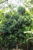 Rose Apple tree (Syzygium jambos), Rio Pacaya, Peru