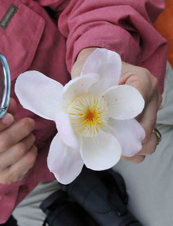 Gustavia (brazil nut family) flower, Rio Pacaya, Peru