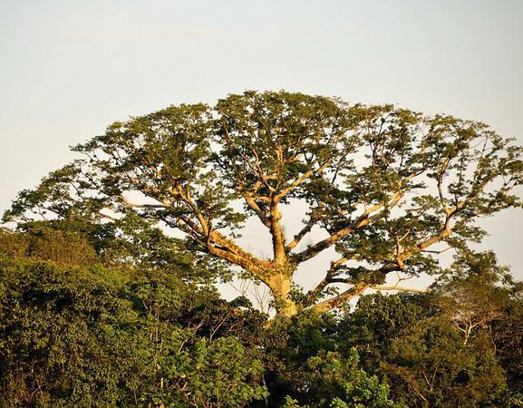 Kapok tree, Yana Yaku (Black Water) Lake, Rio Pacaya, Peru