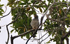 Roadside Hawk (Buteo magnirostris):  Mangua on the Amazon in Peru