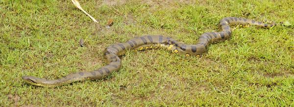 """Watch an anaconda regurgitate a hippo!  <a href=""""http://www.youtube.com/watch?v=DvYpK6dYIoI"""">http://www.youtube.com/watch?v=DvYpK6dYIoI</a>    Libertad, Rio Ucayali, Peru"""