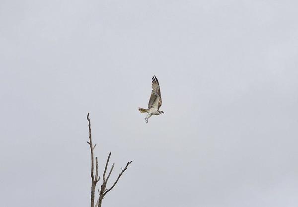 Osprey, Qda. Sapote, Rio Ucayalli, Peru