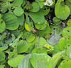 Spider in water hyacinth bed, Rio Tapiche, The Amazon, Peru