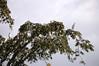 Egrets in an Acacia tree, Yarina, Rio Tapiche, Peru