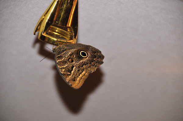 Owl moth, VIP lounge, Iquitos