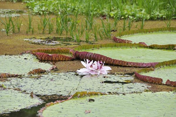 Giant water lillies Victoria amazonia, Rio Tapiche, The Amazon, Peru