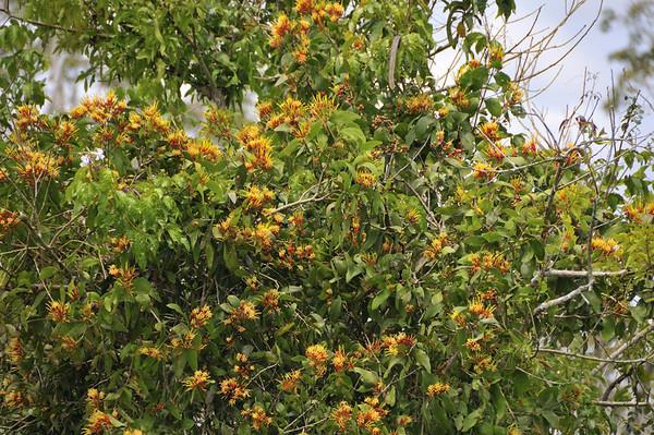 Unidentified flowering bush, Rio Pacaya, Peru