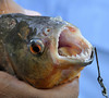 Red-bellied Piranha, Qda. Carocurahuayte, Rio Ucayalli, Peru