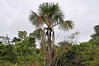 Moriche Palm (Mauritia flexuosa), aka in Peru as the aguaje, edible fruit high in vitamin C:  Mangua on the Amazon in Peru