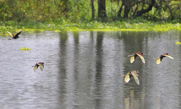 Wattled Jacana (JC) birds, Rio Pacaya, Peru