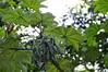Cecropia tree and seed pods, Qda. Carocurahuayte, Rio Ucayalli, Peru