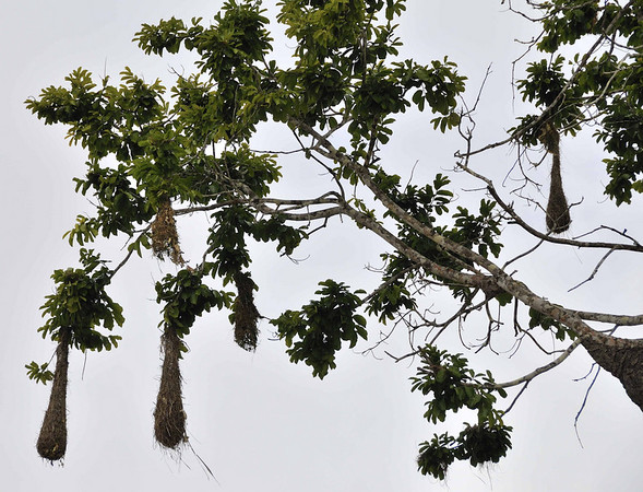 Nests of the Russet-backed Oropendula (Psarocolinus angustifrons):  Mangua on the Amazon in Peru