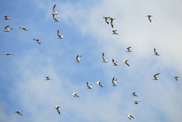 Flight of Yellow-billed Terns (Sterna superciliaris), Rio Pacaya, Peru