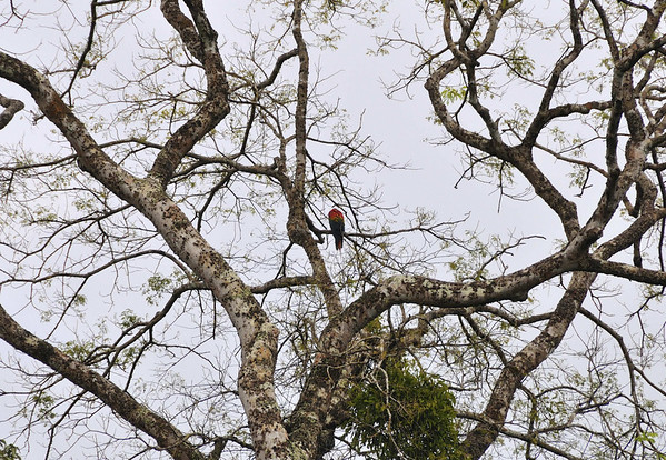 Unidentified bird, Rio Pacaya, Peru