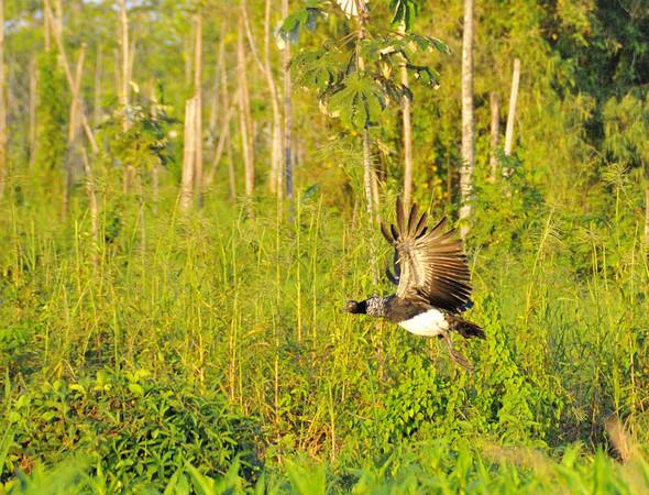 Horned Screamer (Anhima cornuta), Yana Yaku (Black Water) Lake, Rio Pacaya, Peru
