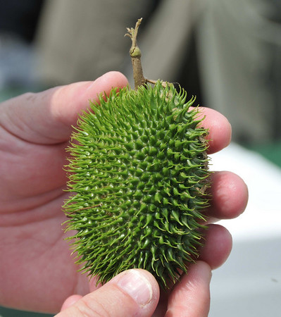 Unidentified fruit, Rio Pacaya, Peru