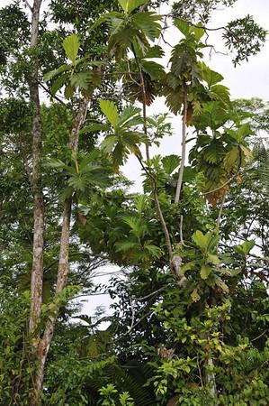 Breadfruit tree:  Mangua on the Amazon in Peru
