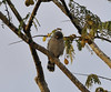 Roadside Hawn (Buteo magnirostris) in an acacia tree, Rio Ucayalli, near Qda. Supay