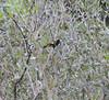 Yellow-rumped Cacique (Cacicus cela), Yanallpa, Rio Ucayalli, Peru