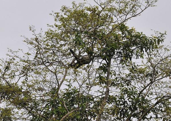 3-Toed Sloth, Qda. Sapote, Rio Ucayalli, Peru