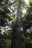 Rubber tree, Qda. Sapote, Rio Ucayalli, Peru
