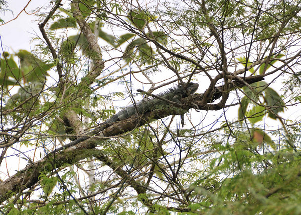 Green Iguana (Iguana iguana):  Mangua on the Amazon in Peru