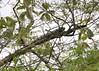 Green Iguana (Iguana iguana):  Mangua on the Amazon in Peru