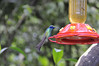 Green Violet-ear hummingbird (Colibri thalassinus), Inkaterra Hotel, Aguas Calientes, Peru