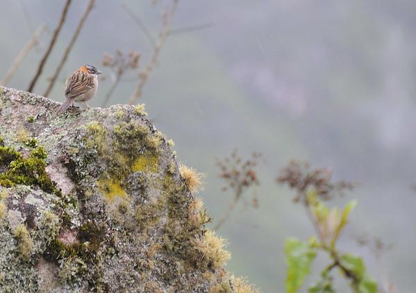 Bird at Machu Picchu, Peru