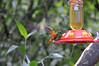 hummingbirds, Inkaterra Hotel, Aguas Calientes, Peru