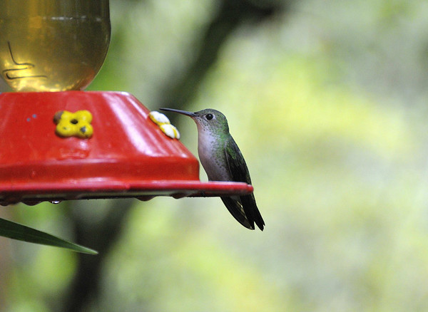 female Green-tailed Trainbearer hummingbird (Lesbia nuna), Inkaterra Hotel, Aguas Calientes, Peru