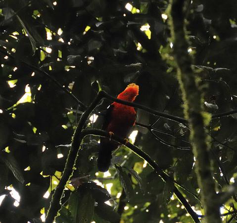 Andean Cock-of-the-rock (Rupicola peruviana),12-acre nature trail, Inkaterra Hotel, Aguas Calientes, Peru