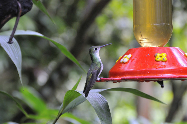 female Green-tailed Trainbearer hummingbird (Lesbia nuna), Inkaterra Hotel, Aguas Calientes, Peru