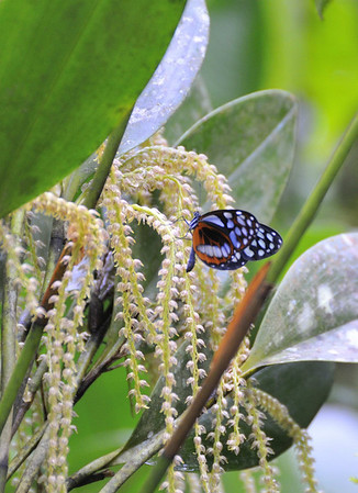 butterfly and orchids,12-acre nature trail, Inkaterra Hotel, Aguas Calientes, Peru