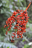 red berries, probably from a heliconia,12-acre nature trail, Inkaterra Hotel, Aguas Calientes, Peru
