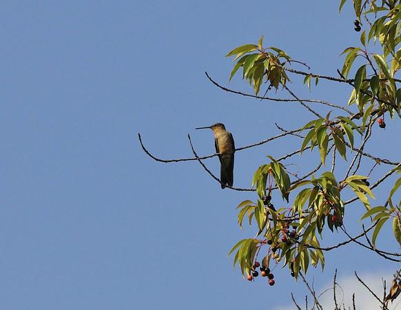 Giant Hummingbird, Sol y Luna Hotel, Urubamba Valley, Peru