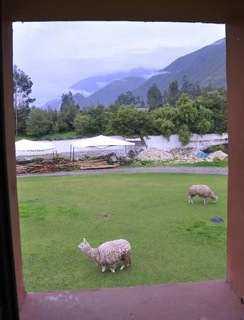 DAY 3  Llama outside my hotel window, Posada Yucay, Urabamba Valley, Peru