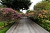 Bougainvilla over a street