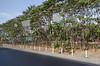 Teak trees alongside the road